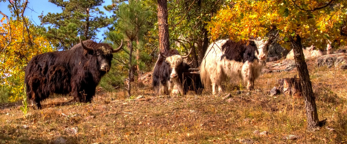 Yaks at Yak Ridge Cabins and Farmstead