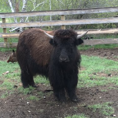 Yearling Yak