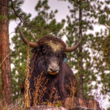 Hugh the Yak Herd Bull