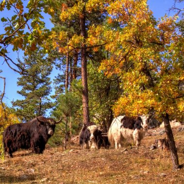 Yak Ridge Cabins and Farmstead is home to a small herd of Himalayan Yaks