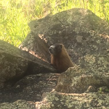 Yellow Bellied Marmot at Yak Ridge Cabins and Farmstead